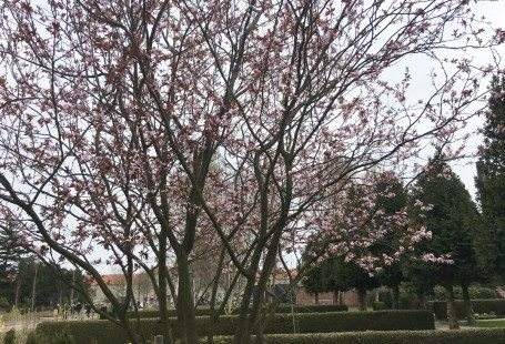 Spring is here sakura trees