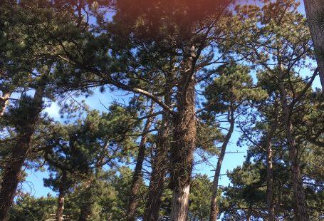 tree tops in denmark at summer