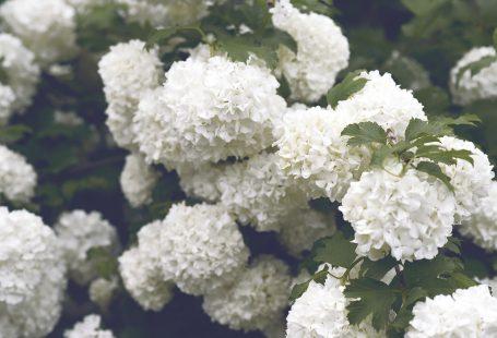 white rhododenron