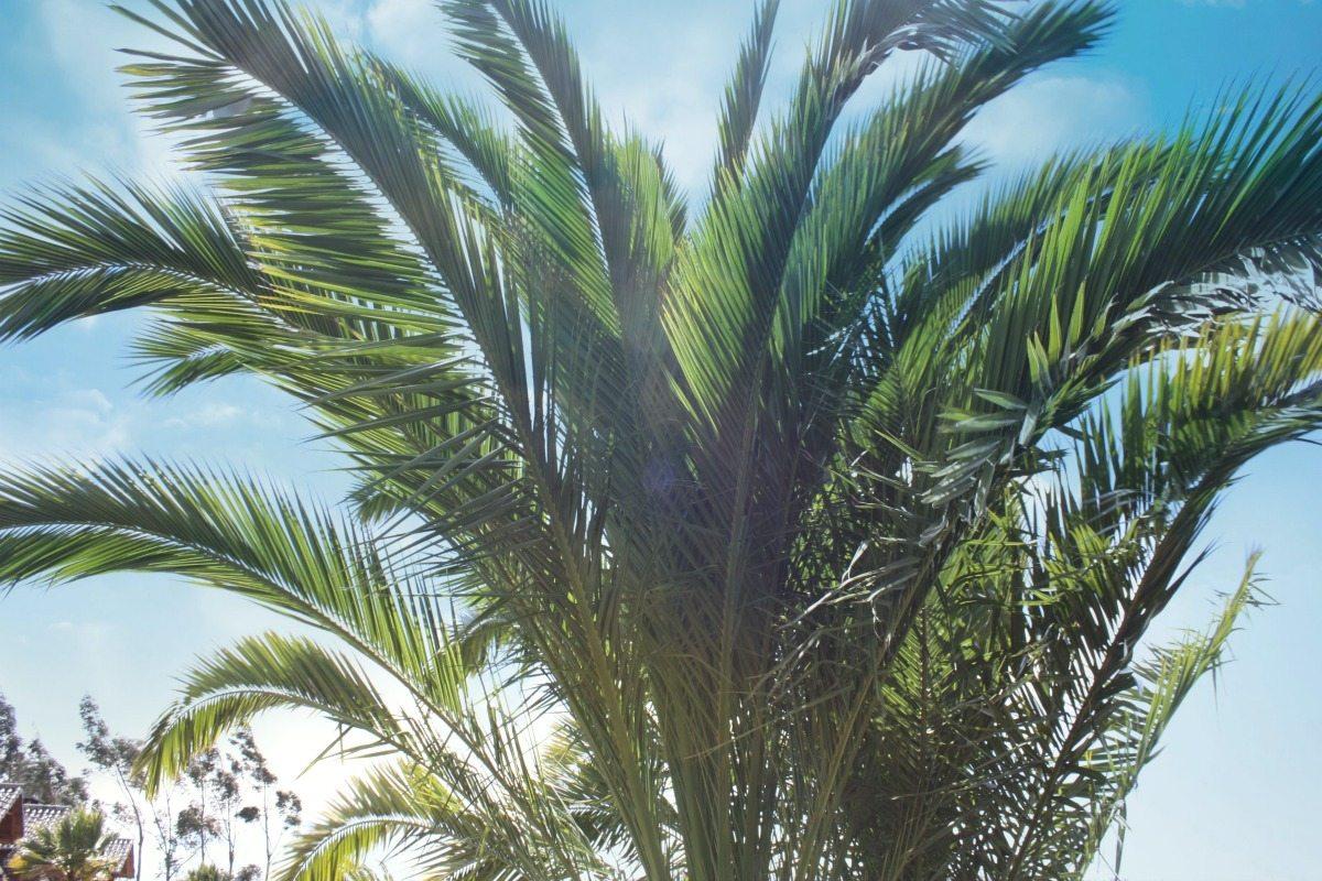 palmtreesinecuador14