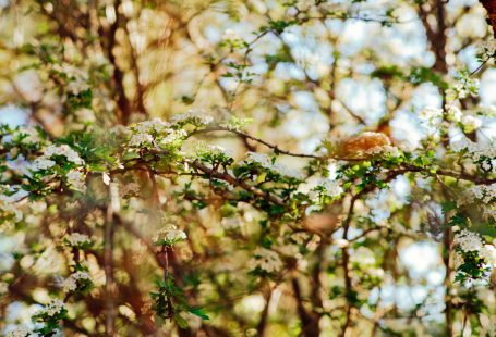 white elderflower looking tree